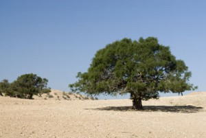 argan-tree22